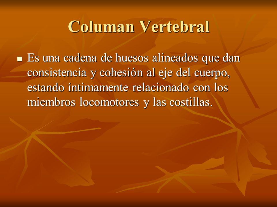 Columan Vertebral Es una cadena de huesos alineados que dan consistencia y cohesión al eje del cuerpo, estando íntimamente relacionado con los miembro