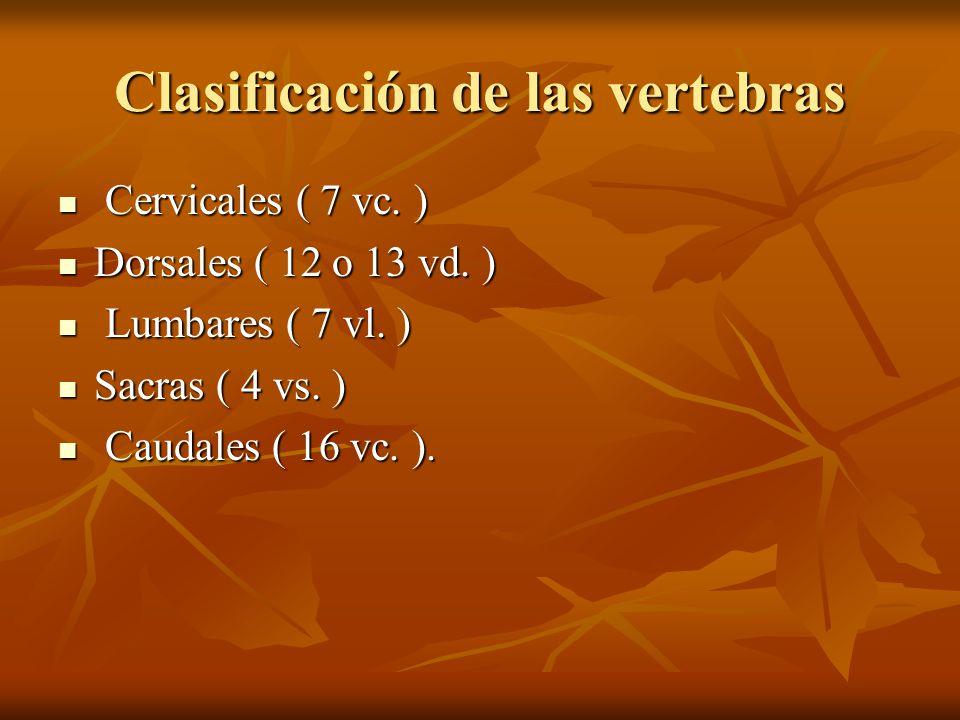 Clasificación de las vertebras Cervicales ( 7 vc. ) Cervicales ( 7 vc. ) Dorsales ( 12 o 13 vd. ) Dorsales ( 12 o 13 vd. ) Lumbares ( 7 vl. ) Lumbares