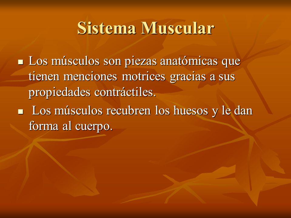 Sistema Muscular Los músculos son piezas anatómicas que tienen menciones motrices gracias a sus propiedades contráctiles. Los músculos son piezas anat