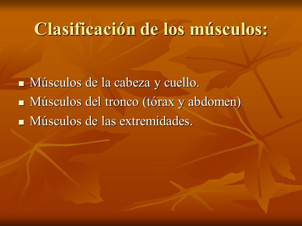 Clasificación de los músculos: Músculos de la cabeza y cuello. Músculos de la cabeza y cuello. Músculos del tronco (tórax y abdomen) Músculos del tron