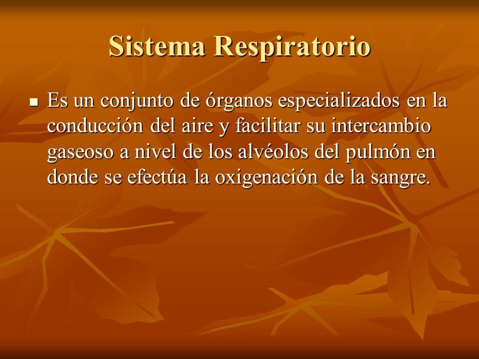 Sistema Respiratorio Es un conjunto de órganos especializados en la conducción del aire y facilitar su intercambio gaseoso a nivel de los alvéolos del