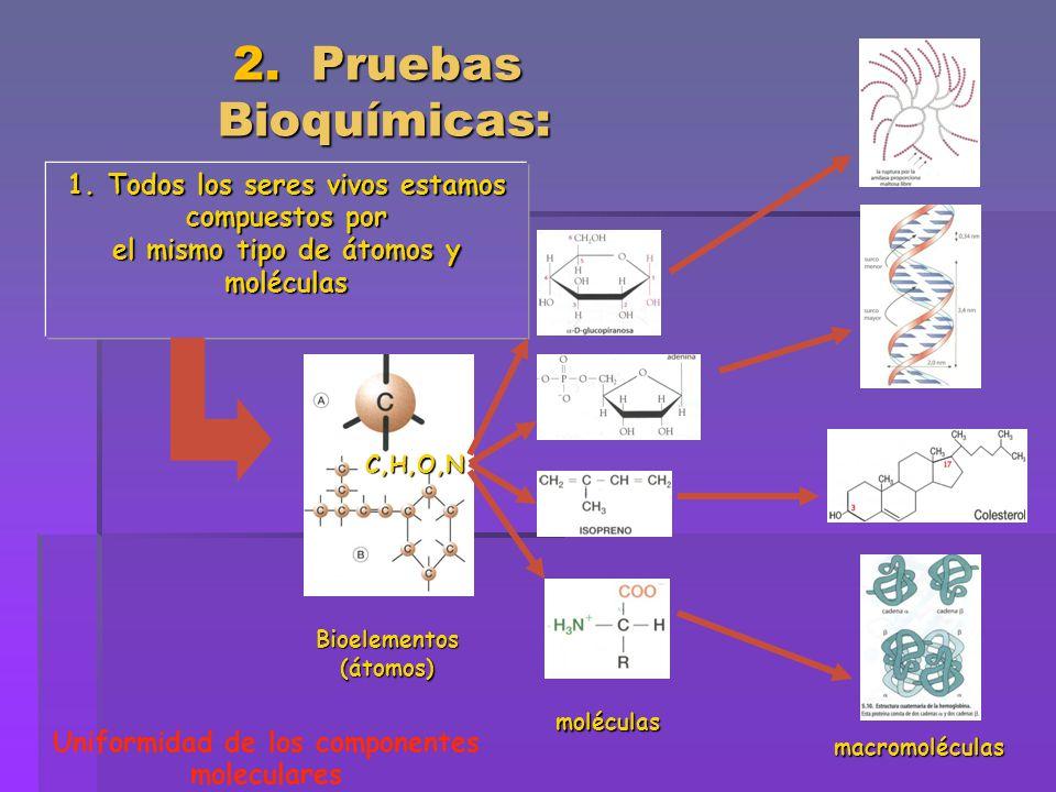 2. Pruebas Bioquímicas: 2. Pruebas Bioquímicas: 1. Todos los seres vivos estamos compuestos por el mismo tipo de átomos y moléculas C,H,O,N Bioelement