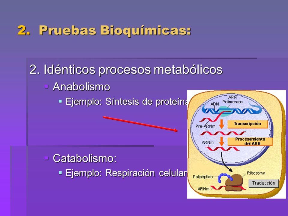2. Pruebas Bioquímicas: 2. Idénticos procesos metabólicos Anabolismo Anabolismo Ejemplo: Síntesis de proteínas Ejemplo: Síntesis de proteínas Cataboli