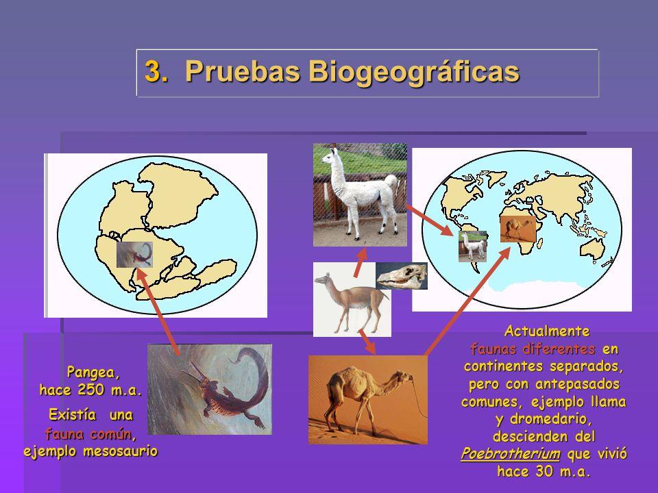 3. Pruebas Biogeográficas Pangea, Pangea, hace 250 m.a. Existía una fauna común, ejemplo mesosaurio Actualmente Actualmente faunas diferentes en conti