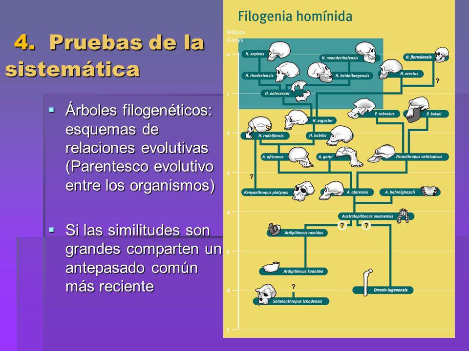 4. Pruebas de la sistemática 4. Pruebas de la sistemática Árboles filogenéticos: esquemas de relaciones evolutivas (Parentesco evolutivo entre los org