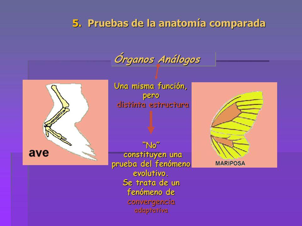 Órganos Análogos Una misma función, pero distinta estructura No constituyen una prueba del fenómeno evolutivo. constituyen una prueba del fenómeno evo