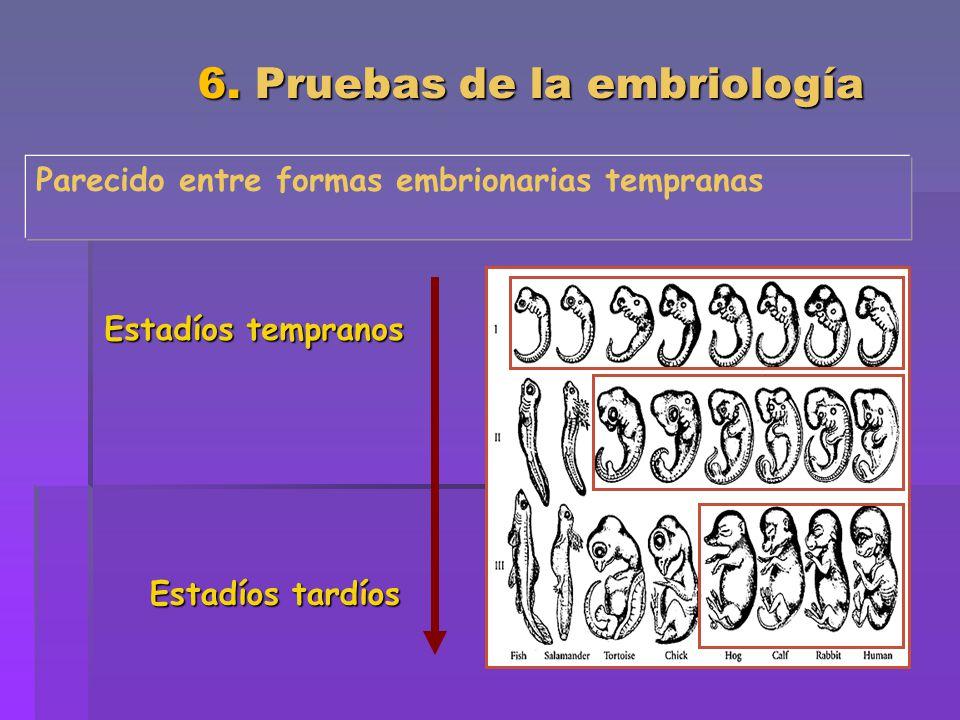 6. Pruebas de la embriología Parecido entre formas embrionarias tempranas Estadíos tempranos Estadíos tardíos
