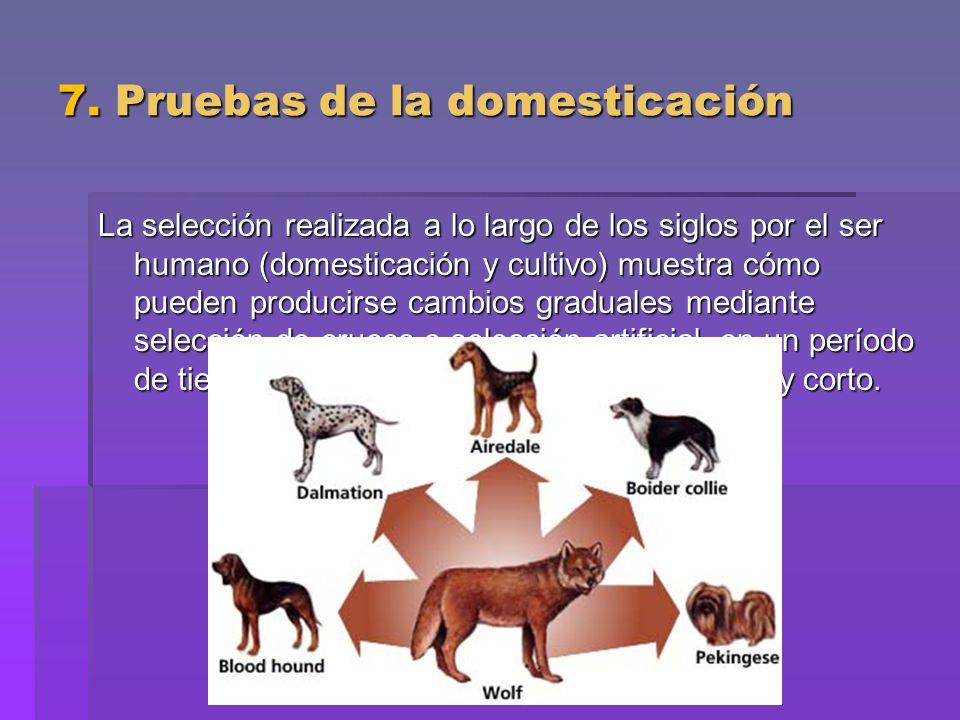 7. Pruebas de la domesticación La selección realizada a lo largo de los siglos por el ser humano (domesticación y cultivo) muestra cómo pueden produci
