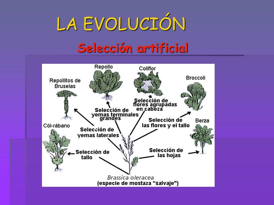 LA EVOLUCIÓN Selección artificial