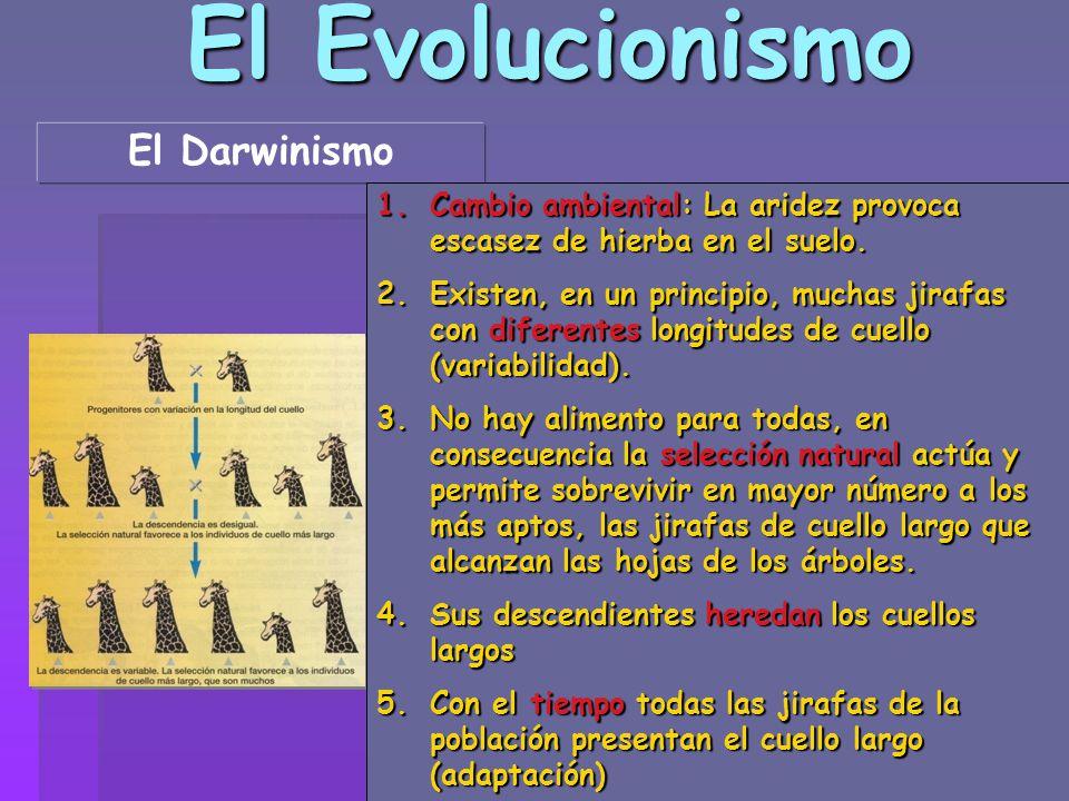 El Evolucionismo El Darwinismo 1.Cambio ambiental: La aridez provoca escasez de hierba en el suelo. 2.Existen, en un principio, muchas jirafas con dif