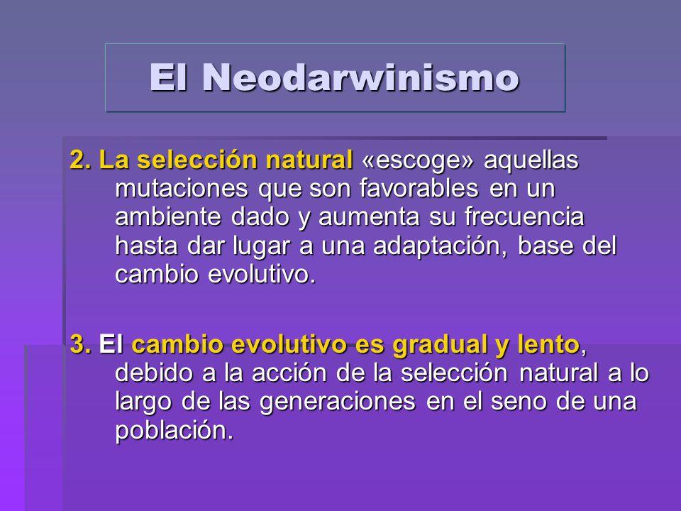 2. La selección natural «escoge» aquellas mutaciones que son favorables en un ambiente dado y aumenta su frecuencia hasta dar lugar a una adaptación,