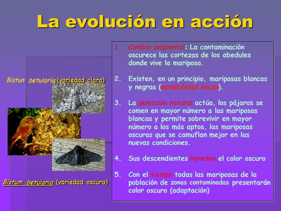 La evolución en acción 1.Cambio ambiental: La contaminación oscurece las cortezas de los abedules donde vive la mariposa. 2.Existen, en un principio,
