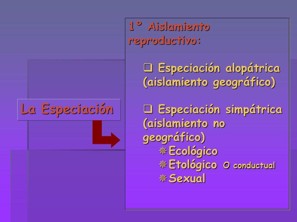 La Especiación 1º Aislamiento reproductivo: Especiación alopátrica (aislamiento geográfico) Especiación alopátrica (aislamiento geográfico) Especiació