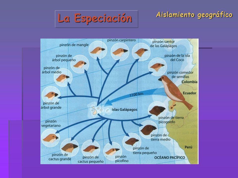 La Especiación Aislamiento geográfico