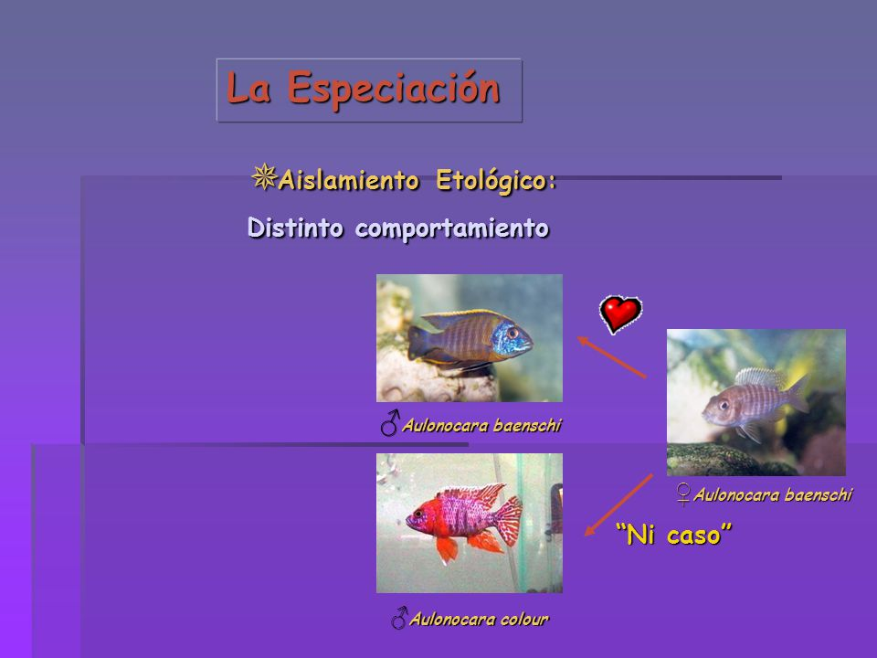 La Especiación Aislamiento Etológico: Aislamiento Etológico: Distinto comportamiento Aulonocara baenschi Aulonocara baenschi Aulonocara colour Aulonoc