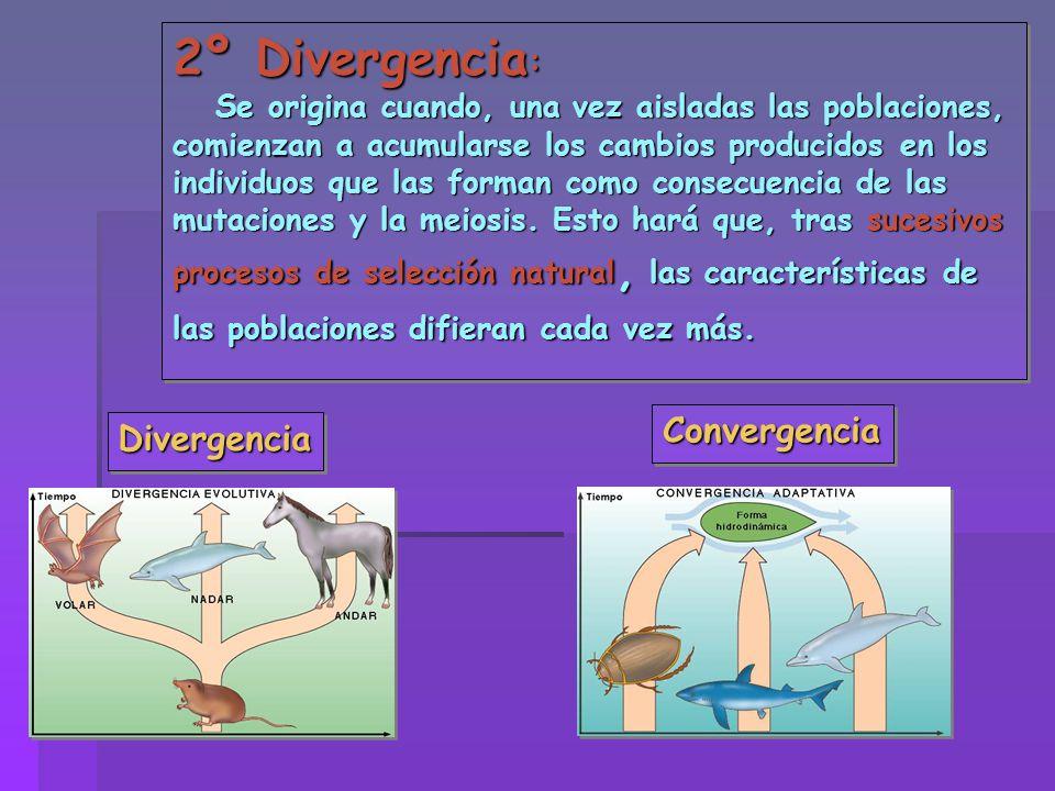 2º Divergencia : Se origina cuando, una vez aisladas las poblaciones, comienzan a acumularse los cambios producidos en los individuos que las forman c