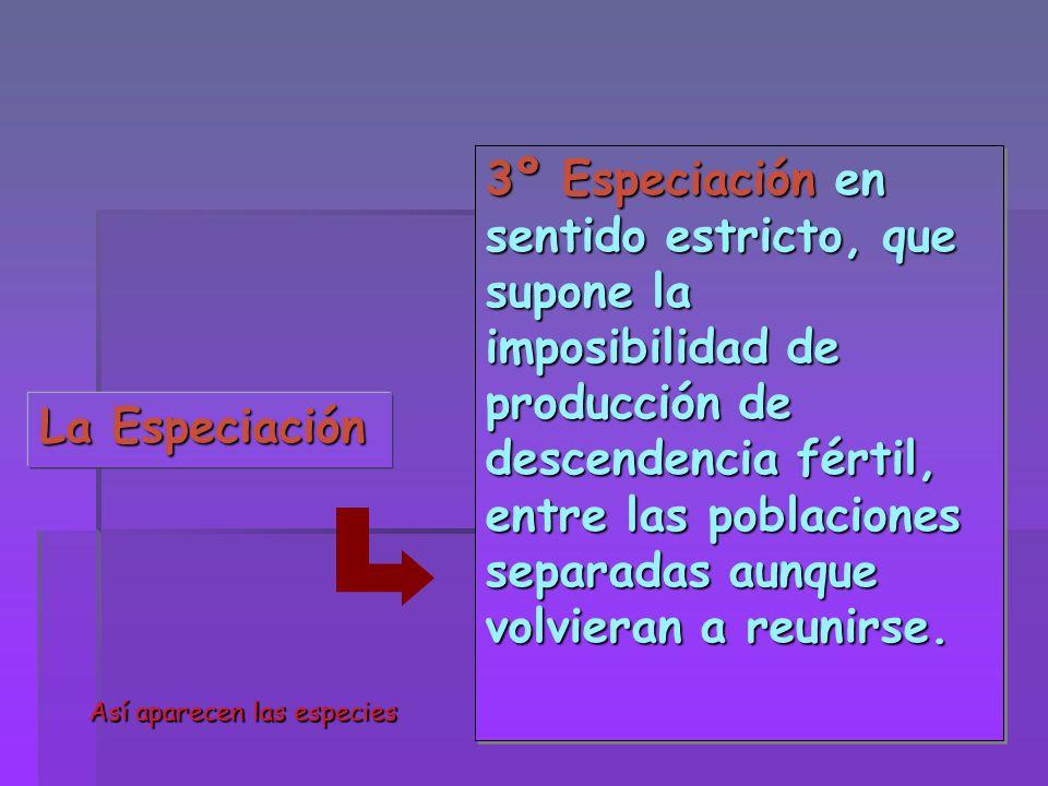 La Especiación 3º Especiación en sentido estricto, que supone la imposibilidad de producción de descendencia fértil, entre las poblaciones separadas a