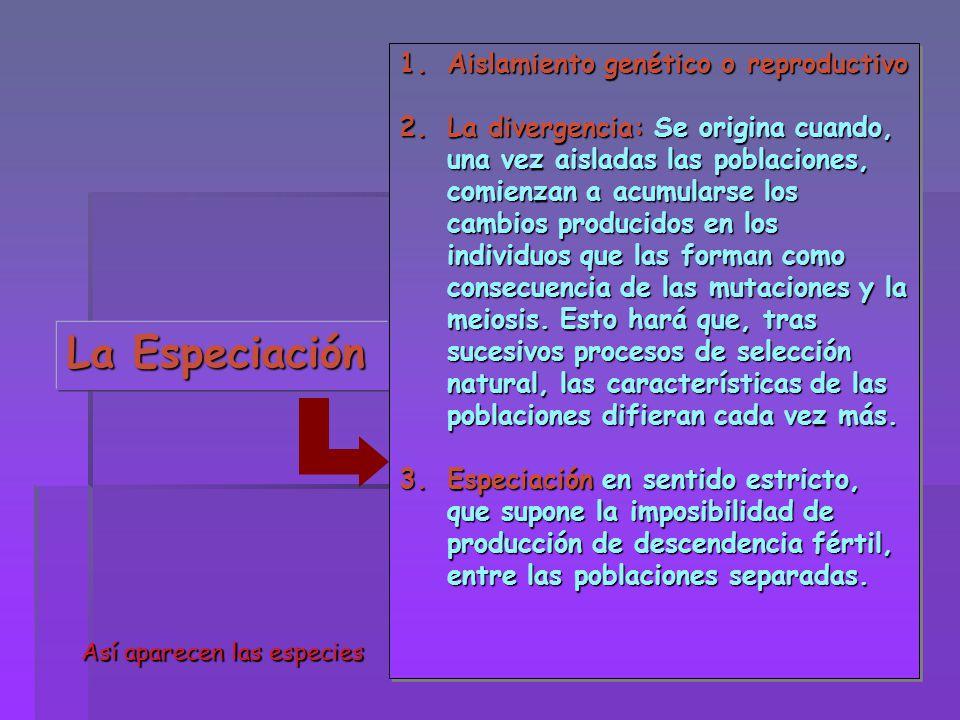 La Especiación 1.Aislamiento genético o reproductivo 2.La divergencia: Se origina cuando, una vez aisladas las poblaciones, comienzan a acumularse los