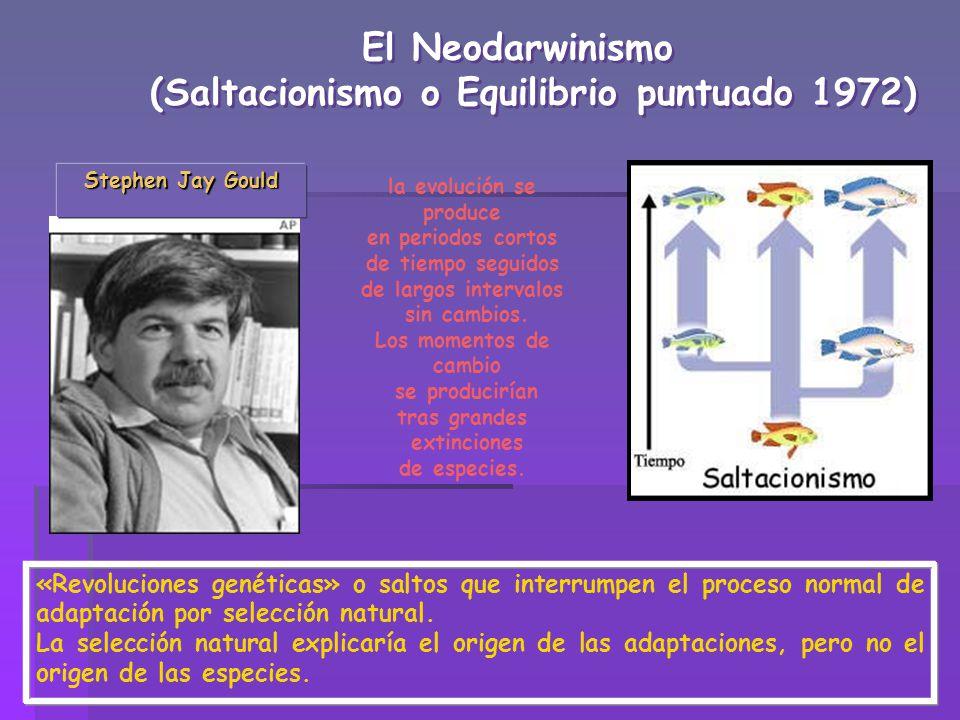 El Neodarwinismo (Saltacionismo o Equilibrio puntuado 1972) El Neodarwinismo (Saltacionismo o Equilibrio puntuado 1972) Stephen Jay Gould la evolución