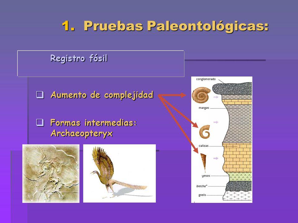 1. Pruebas Paleontológicas: Registro fósil Aumento de complejidad Aumento de complejidad Formas intermedias: Formas intermedias:Archaeopteryx