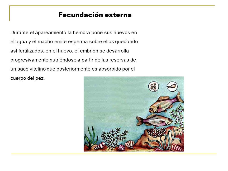Fecundación externa Durante el apareamiento la hembra pone sus huevos en el agua y el macho emite esperma sobre ellos quedando así fertilizados, en el huevo, el embrión se desarrolla progresivamente nutriéndose a partir de las reservas de un saco vitelino que posteriormente es absorbido por el cuerpo del pez.