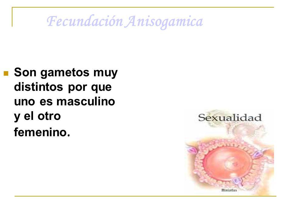 Fecundación Anisogamica Son gametos muy distintos por que uno es masculino y el otro femenino.