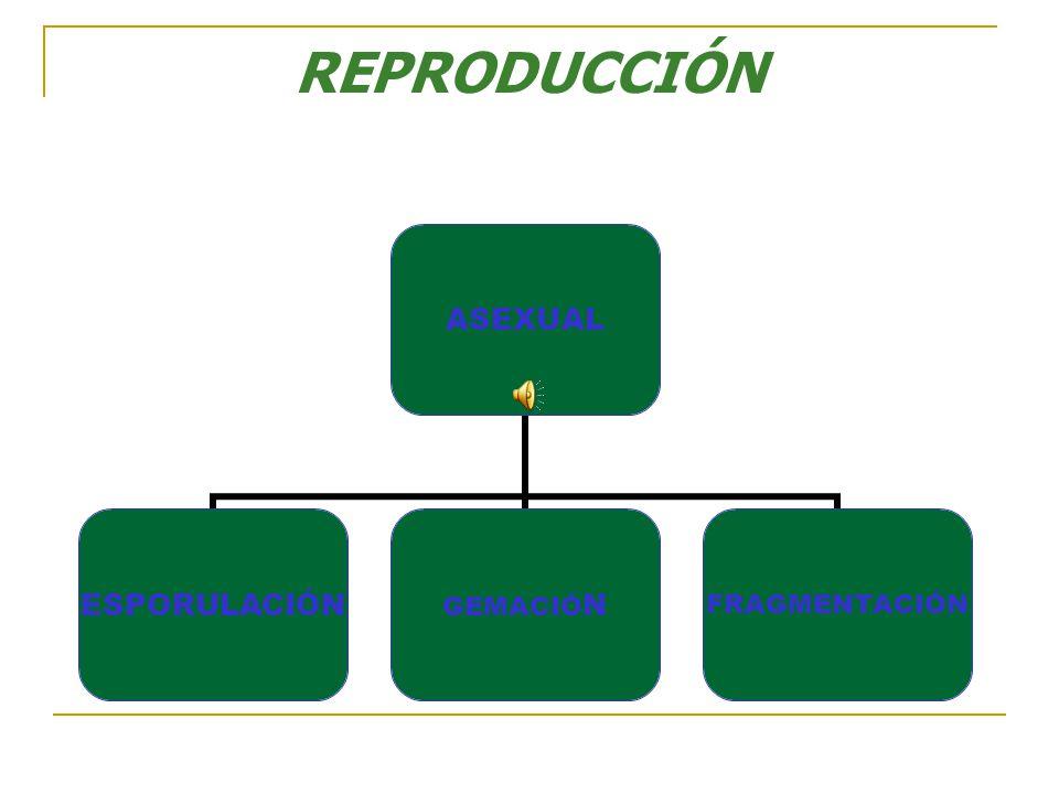 REPRODUCCIÓN ASEXUAL ESPORULACIÓNGEMACIÓNFRAGMENTACIÓN