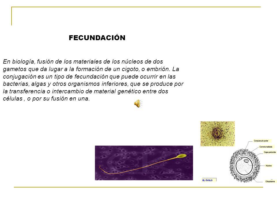 FECUNDACIÓN En biología, fusión de los materiales de los núcleos de dos gametos que da lugar a la formación de un cigoto, o embrión.