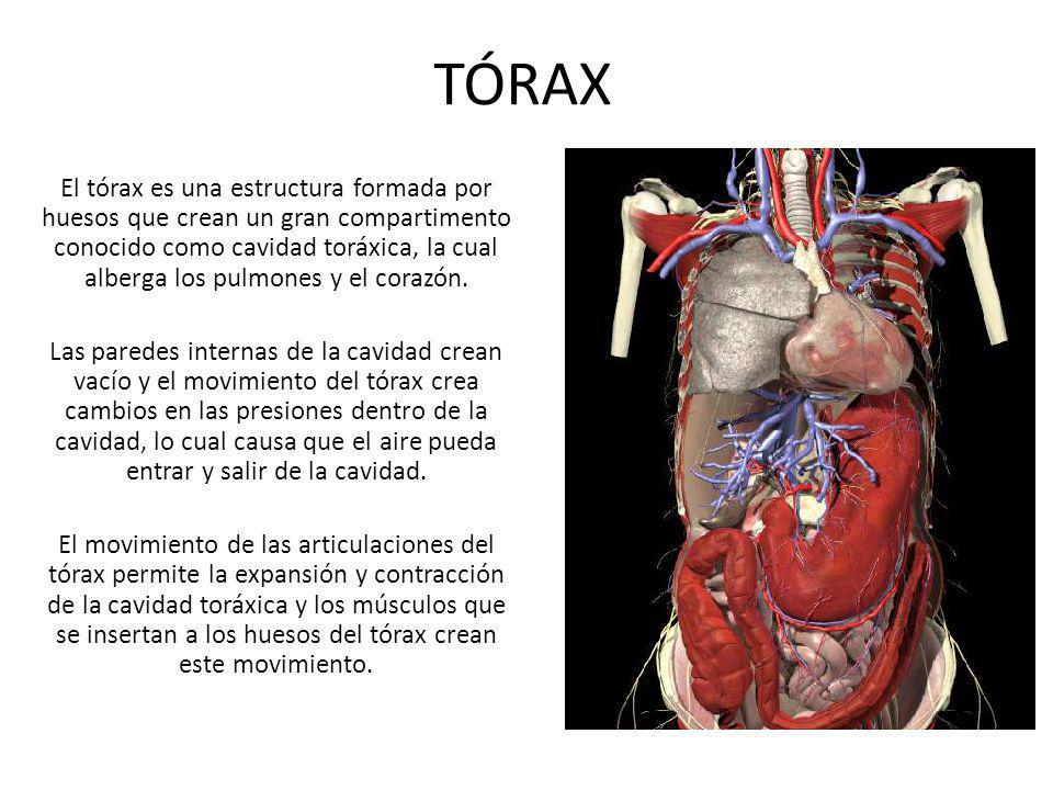 TÓRAX El tórax es una estructura formada por huesos que crean un gran compartimento conocido como cavidad toráxica, la cual alberga los pulmones y el