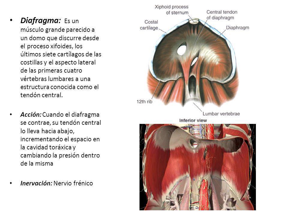 Diafragma: Es un músculo grande parecido a un domo que discurre desde el proceso xifoides, los últimos siete cartílagos de las costillas y el aspecto