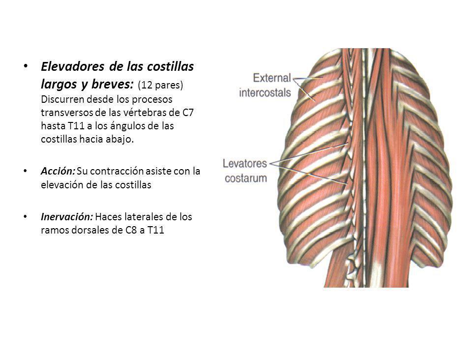 Elevadores de las costillas largos y breves: (12 pares) Discurren desde los procesos transversos de las vértebras de C7 hasta T11 a los ángulos de las