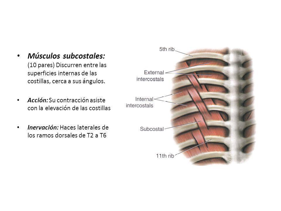 Músculos subcostales: (10 pares) Discurren entre las superficies internas de las costillas, cerca a sus ángulos. Acción: Su contracción asiste con la