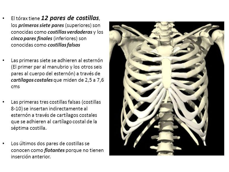Intercostales externos: (11 pares) Discurren en el aspecto anterior de las costillas.