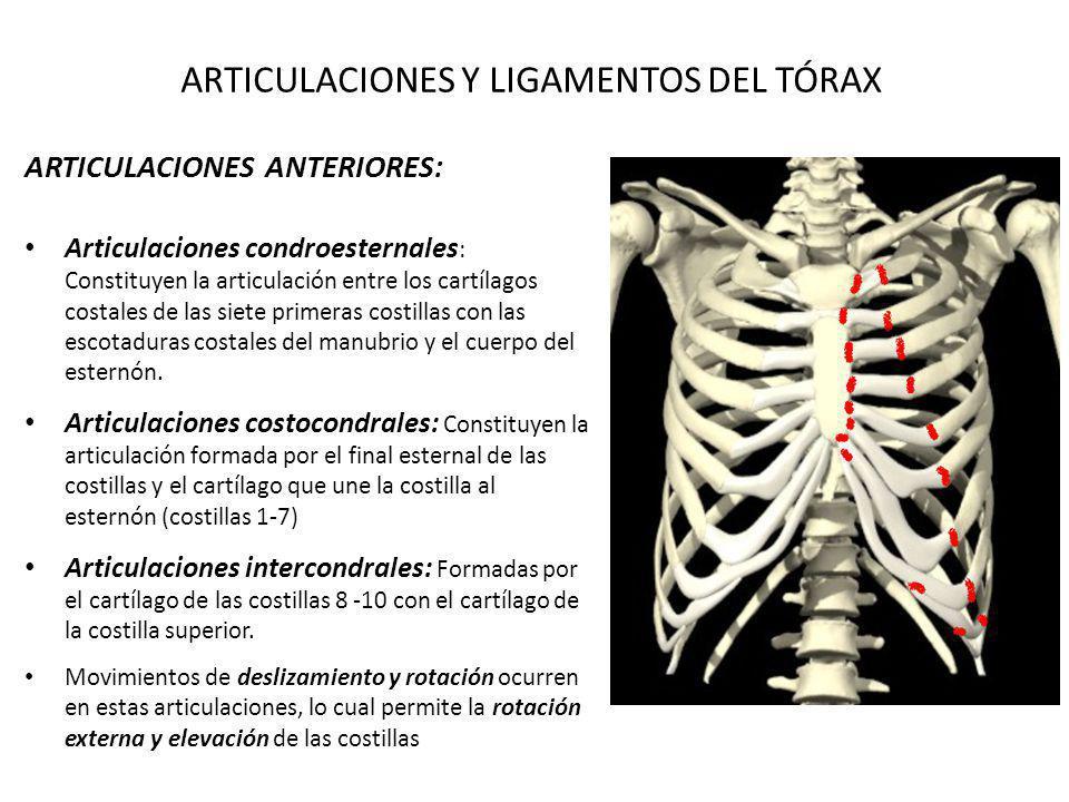 ARTICULACIONES Y LIGAMENTOS DEL TÓRAX ARTICULACIONES ANTERIORES: Articulaciones condroesternales : Constituyen la articulación entre los cartílagos co