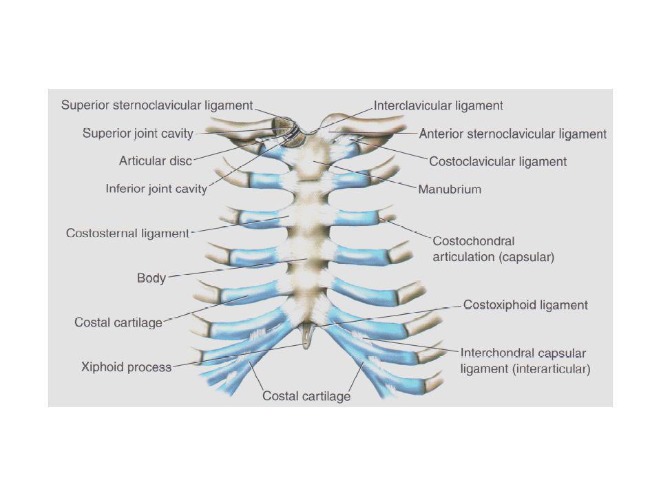 ARTICULACIONES POSTERIORES: Todas las 12 costillas se articulan con las 12 vértebras toráxicas a través de dos articulaciones para cada costilla y se denominan articulaciones costovertebrales que son: Articulaciones corpocapitadas: Constituídas por la cabeza de las costillas y el cuerpo de las vértebras toráxicas adyacentes.