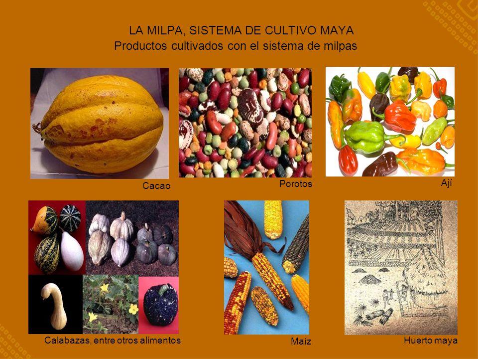 LA MILPA, SISTEMA DE CULTIVO MAYA Productos cultivados con el sistema de milpas Cacao Porotos Ají Calabazas, entre otros alimentos Maíz Huerto maya