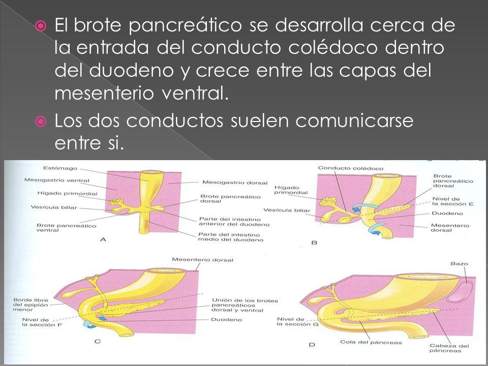 El brote pancreático se desarrolla cerca de la entrada del conducto colédoco dentro del duodeno y crece entre las capas del mesenterio ventral. Los do