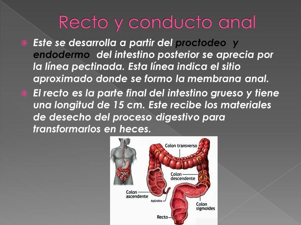 Este se desarrolla a partir del proctodeo y endodermo del intestino posterior se aprecia por la línea pectinada. Esta línea indica el sitio aproximado