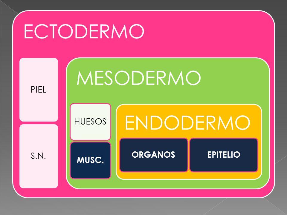 ECTODERMO PIELS.N. MESODERMO HUESOS MUSC. ENDODERMO ORGANOSEPITELIO
