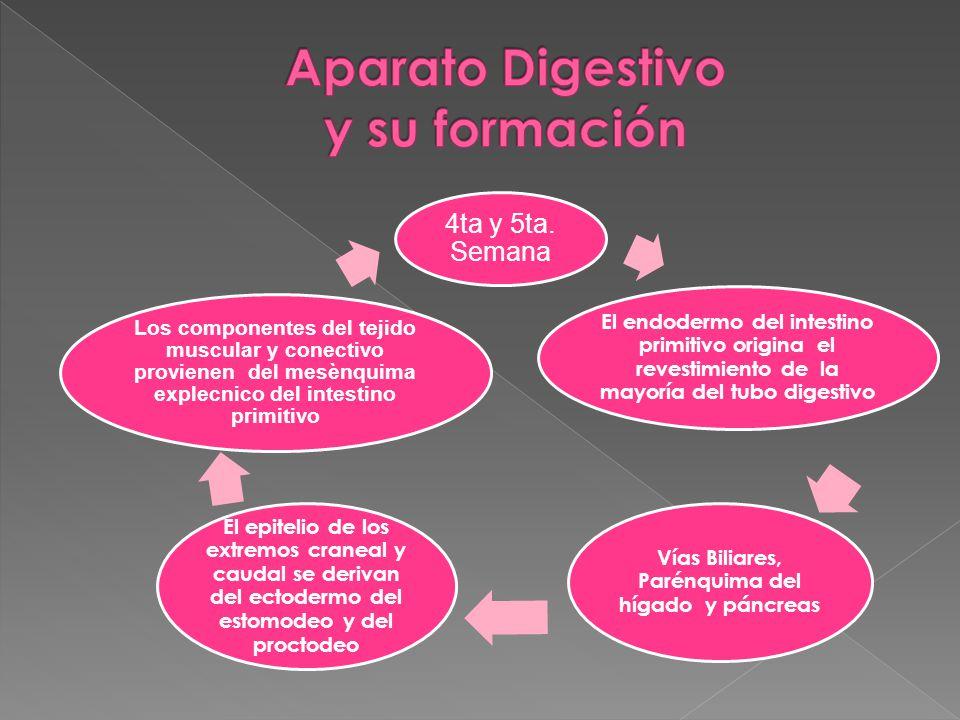 ORIGINA Origina el Tercio Izquierdo del Tubo Digestivo.