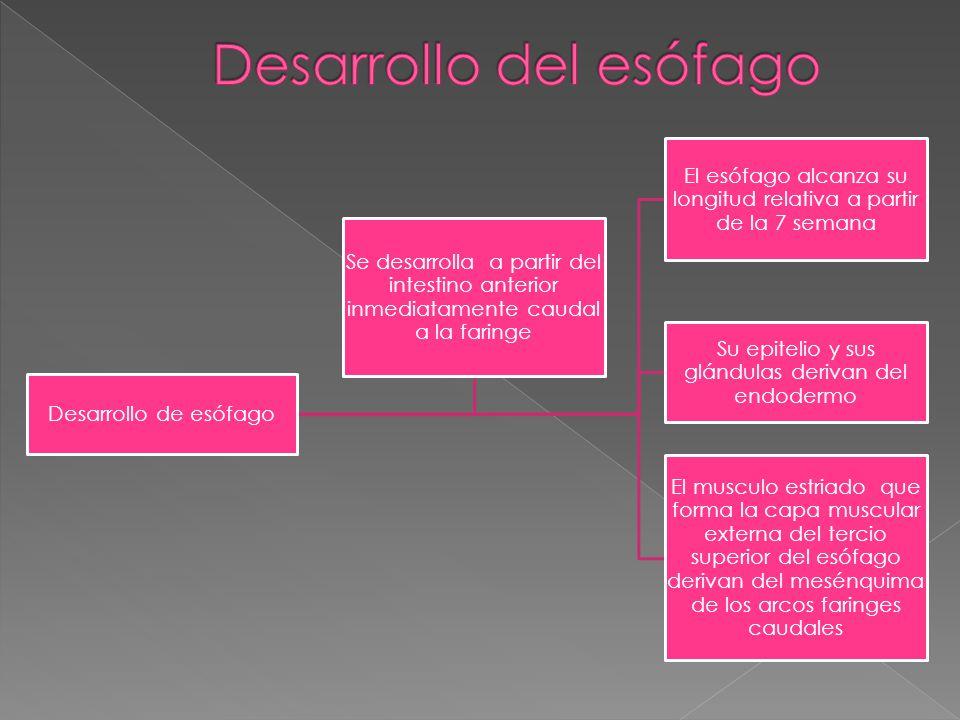 Desarrollo de esófago El esófago alcanza su longitud relativa a partir de la 7 semana Su epitelio y sus glándulas derivan del endodermo El musculo est