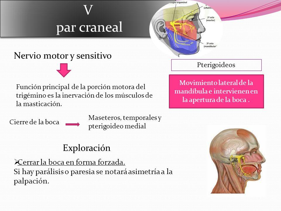 V par craneal V par craneal Nervio motor y sensitivo Función principal de la porción motora del trigémino es la inervación de los músculos de la masticación.