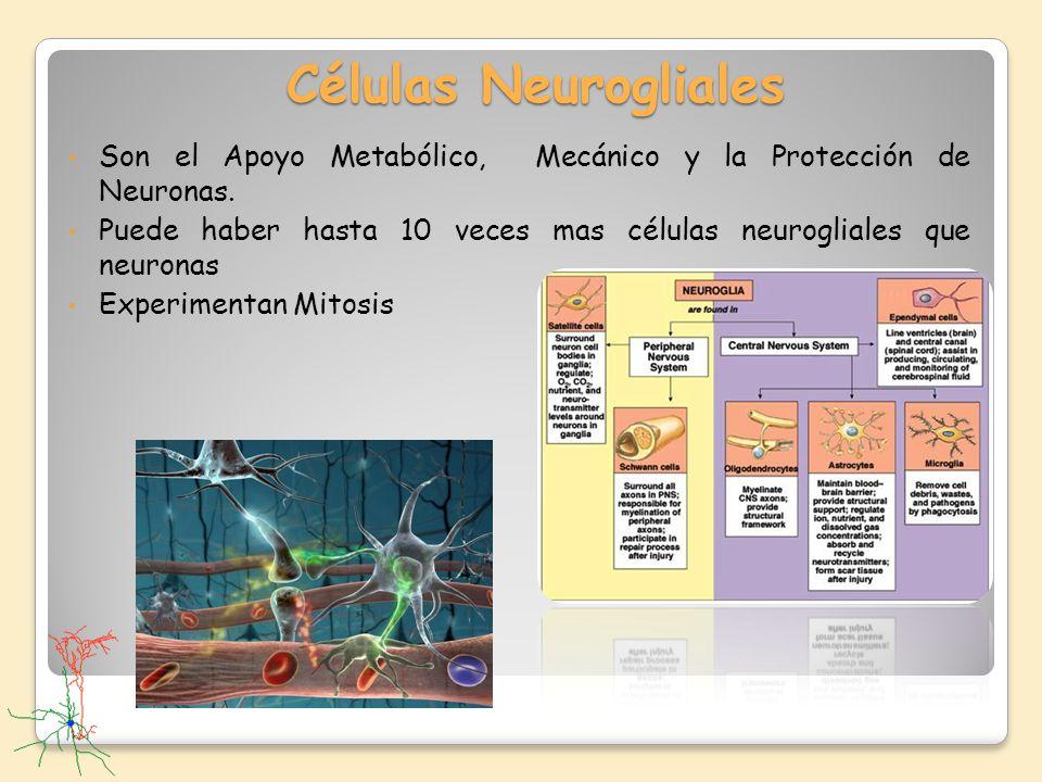 Células Neurogliales Son el Apoyo Metabólico, Mecánico y la Protección de Neuronas. Puede haber hasta 10 veces mas células neurogliales que neuronas E