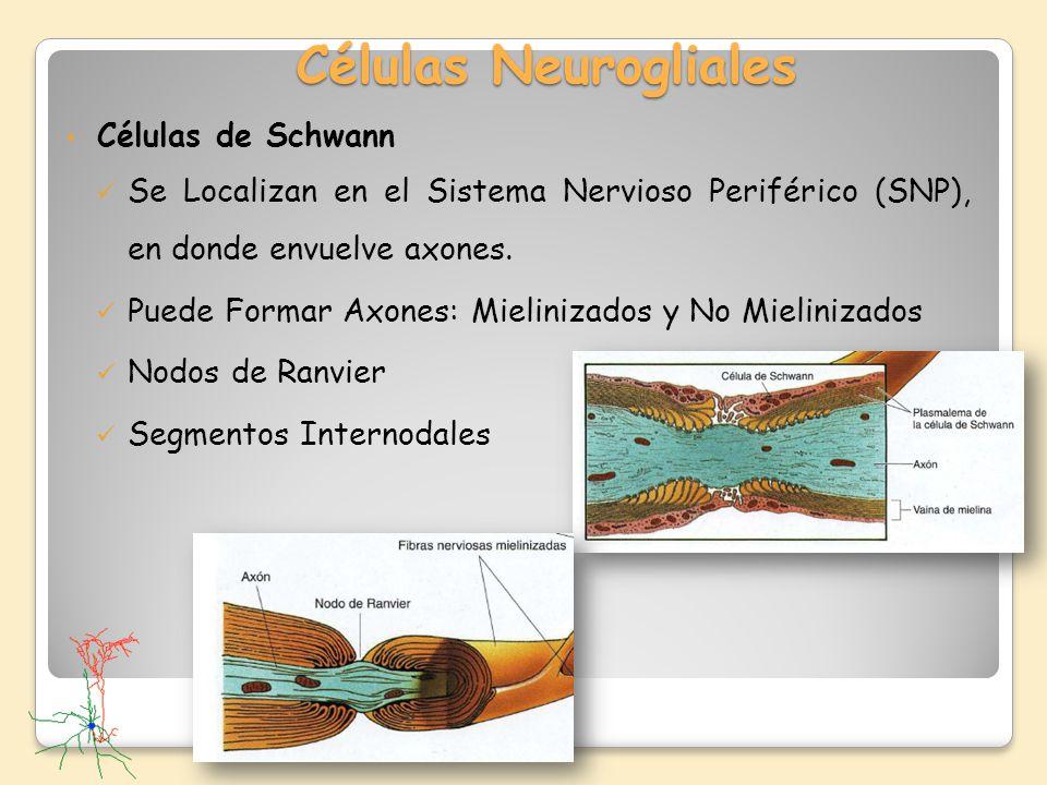 Células Neurogliales Células de Schwann Se Localizan en el Sistema Nervioso Periférico (SNP), en donde envuelve axones. Puede Formar Axones: Mieliniza