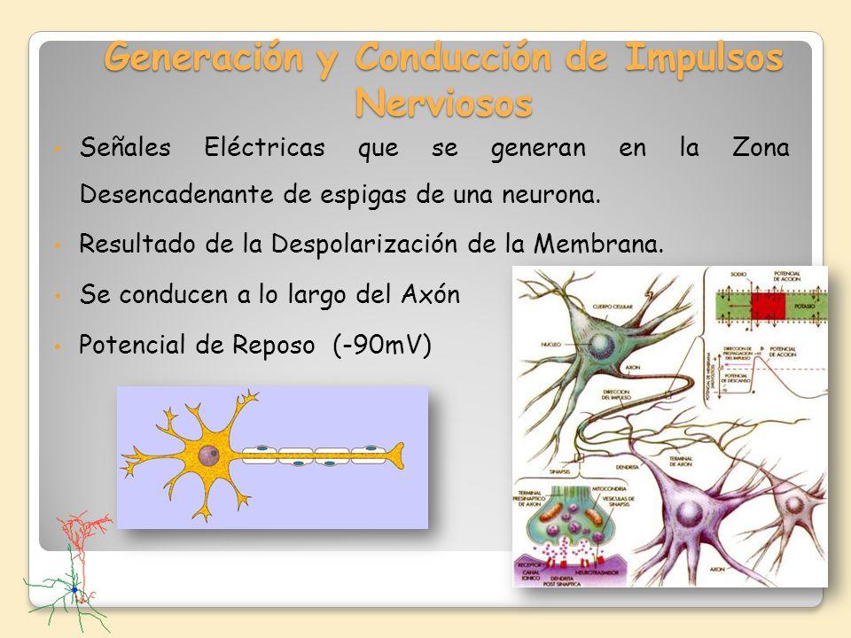 Generación y Conducción de Impulsos Nerviosos Señales Eléctricas que se generan en la Zona Desencadenante de espigas de una neurona. Resultado de la D