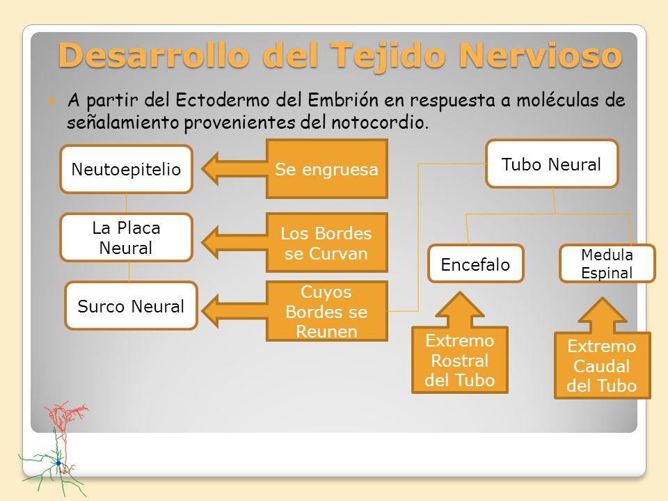 Desarrollo del Tejido Nervioso A partir del Ectodermo del Embrión en respuesta a moléculas de señalamiento provenientes del notocordio. Neutoepitelio