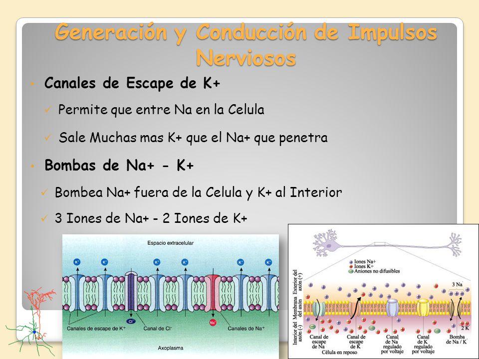 Generación y Conducción de Impulsos Nerviosos Canales de Escape de K+ Permite que entre Na en la Celula Sale Muchas mas K+ que el Na+ que penetra Bomb