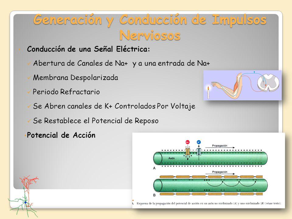 Generación y Conducción de Impulsos Nerviosos Conducción de una Señal Eléctrica: Abertura de Canales de Na+ y a una entrada de Na+ Membrana Despolariz
