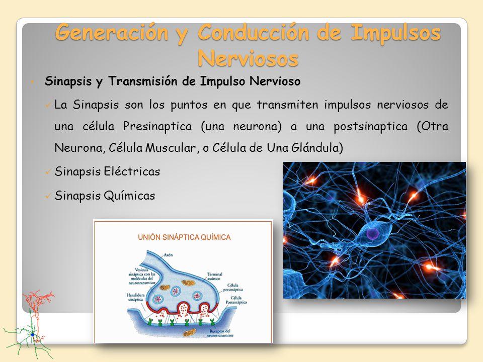 Generación y Conducción de Impulsos Nerviosos Sinapsis y Transmisión de Impulso Nervioso La Sinapsis son los puntos en que transmiten impulsos nervios
