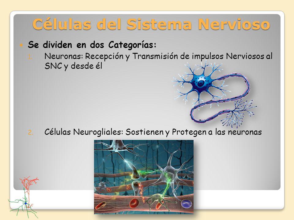 Se dividen en dos Categorías: 1. Neuronas: Recepción y Transmisión de impulsos Nerviosos al SNC y desde él 2. Células Neurogliales: Sostienen y Proteg